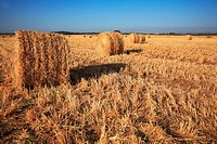 Field after harvest. Rick gathered wheat left to dry in the sun. Sunset