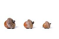 acorns isolated on white
