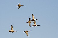 Shovelers in flight - Anas clypeata, Crete