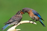 Female Eastern Bluebird Sialia sialis feeding a hungry baby on a deer antler