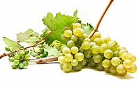freshly harvested wine grapes on white background