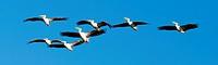Pelicans flying in Moremi National Park