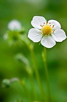 A single white strawberry plant flower with blurred background