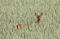 Roe deer Capreolus capreolus female in cornfield, Germany