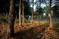Pine grove of Pinus pinea in Doñana Natural Park, Huelva province  Andalusia  Spain