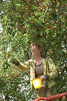 Woman plucking Mirabelle Plums
