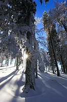 Tree, trunks, trunk, trees, Creux du Van, ice, spruce, back light, Jura, cold, snow, Switzerland, Europe, sun, star, fir, fir wood, Vaud, Vaud Jura, w...