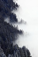 Tree, trees, spruce, spruces, border, cold, pattern, structure, fog, nebulous border, sea of fog, fog patches, Rigi, snow, Switzerland, Europe, Schwyz...