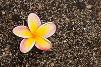 Close_up Of Plumeria Floating On Water