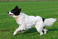 Landseer dog Canis lupus familiaris, bitch running