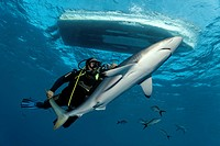 Diver catching a silky shark Carcharhinus falciformis with bare hands, underneath a motorboat, Republic of Cuba, Caribbean, Caribbean Sea, Central Ame...