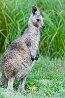 Eastern grey kangaroo Macropus giganteus, joey young not weaned kangaroo kid, it is the second largest living marsupial and one of the icons of Austra...