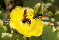 Flower of a Prickly pear cactus Opuntia littoralis and hornets Vespa sp. collecting nectar, Tunisia, Africa