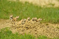 Black tailed prairie dog Cynomys ludovicianus colony, Theodore Roosevelt South Unit, North Dakota, USA