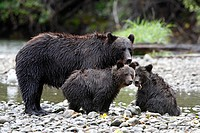 Grizzly bear family, Great Bear Rainforest