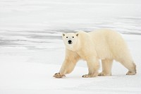 Polar bear Ursus maritimus walking on ice in the Canadian Arctic