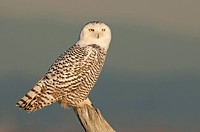 Snowy Owl Bubo scandiacus at Boundary Bay, Delta BC