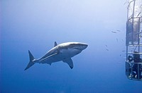 Cage_diving for great white sharks Carcharodon carcharias, Isla Guadalupe, Baja, Mexico