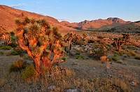 Joshua tree Yucca brevifolia in the Beaver Dam Wash National Conservation Area, Mojave Desert, Utah, USA, North America