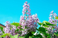 Violet lilac branch with blue sky background