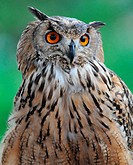 the Eagle Owl bubo bubo with a penetrating stare