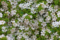 Seamless background of little white flowers