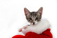 Cat in a Christmas stocking