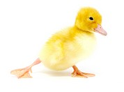 small yellow duck on a white background