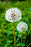 Dandelion on green backgoud with seeds