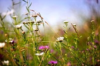 Meadow in summer with different flowers and herbs