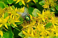 Green bottle fly from the family Lucilia on yellow flowers