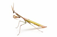 closed flat of praying mantis on white background