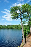 Pine Tree on the Shore of a Scenic Wilderness Lake