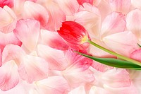 Flower petals and red tulip.