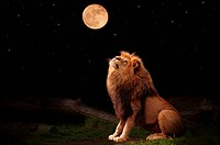 A lion looking at the moon
