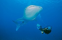 Scuba diver and Whale Shark (Rhincodon typus), largest fish in the world, Maldives, Indian ocean, Asia