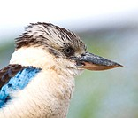 Blue_winged kookaburra kingfisher _ Dacelo leachii