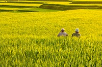 Two farmers resting between terrace rice fields in evening sunset, Bali, Indonesia.