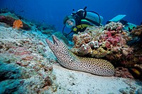 Divers discovers a large laced moray (Gymnothorax favagineus), Maldives, Indian Ocean, Asia