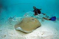 Jenkins´ Whipray, stingray Himantura jenkinsii, Small Spotted Dart Trachinotus bailloni, Maldives, Indian ocean, Asia