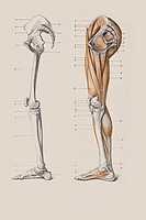 Skeleton of legs with the muscle structure, anatomical illustration