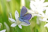 Common Blue, Polyommatus icarus perches on grass with Star-of-Bethlehem flowering in background (thumbnail)