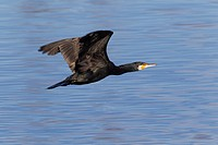 cormorant fly in guadarrama natural park, madrid, spain