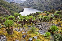 Kitandara Valley and the kitandara lakes with Giant Groundsel The Rwenzori Mountain Range is a National Park and listed as Unesco Heritage site due to...