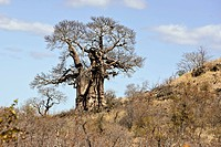 Baobab Adansonia digitata tree. Photographed in Kruger National Park, South Africa.