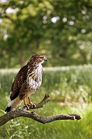 Common buzzard Buteo buteo on a branch. This bird of prey is found throughout Europe and parts of Asia, inhabiting open areas, such as farmland and mo...