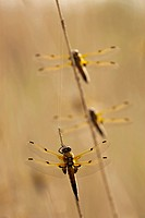 Three four-spotted chasers, Four-spotted skimmers (Libellula quadrimaculata), Illmitz, Lake Neusiedl, Austria, Europe