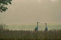 Red_crowned cranes