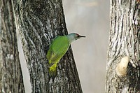 Gray headed woodpecker