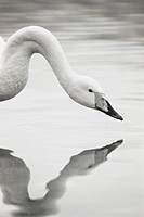 Swan reflecting on the lake